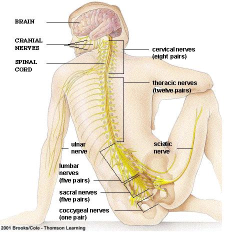 brain diagram without labels trailer 4 way wiring thoracic to label diagrams lose schema colon rectal amosprouciv heart