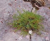 Hierba de las piedras o salsufragi una planta medicinal