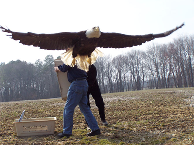 The 10 Biggest Eagle in the World  Message Board