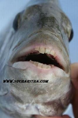 ALWAYZFUN: FISH TEETH LIKE HUMAN'S