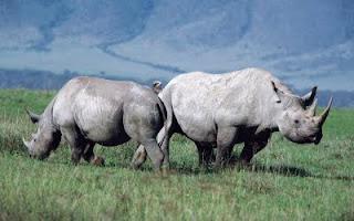 Pareja de Rinocerontes
