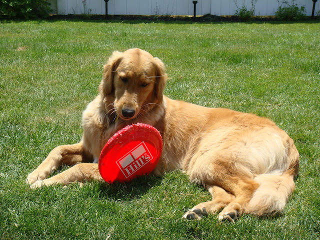 dog uses frisbee as a chew toy