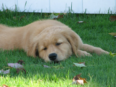 Cute golden retriever puppy napping in grass