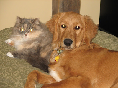 Golden Retriever laying with cat