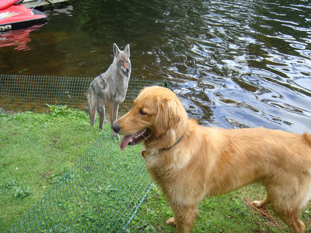 golden retriever dog tricked by fake wolf