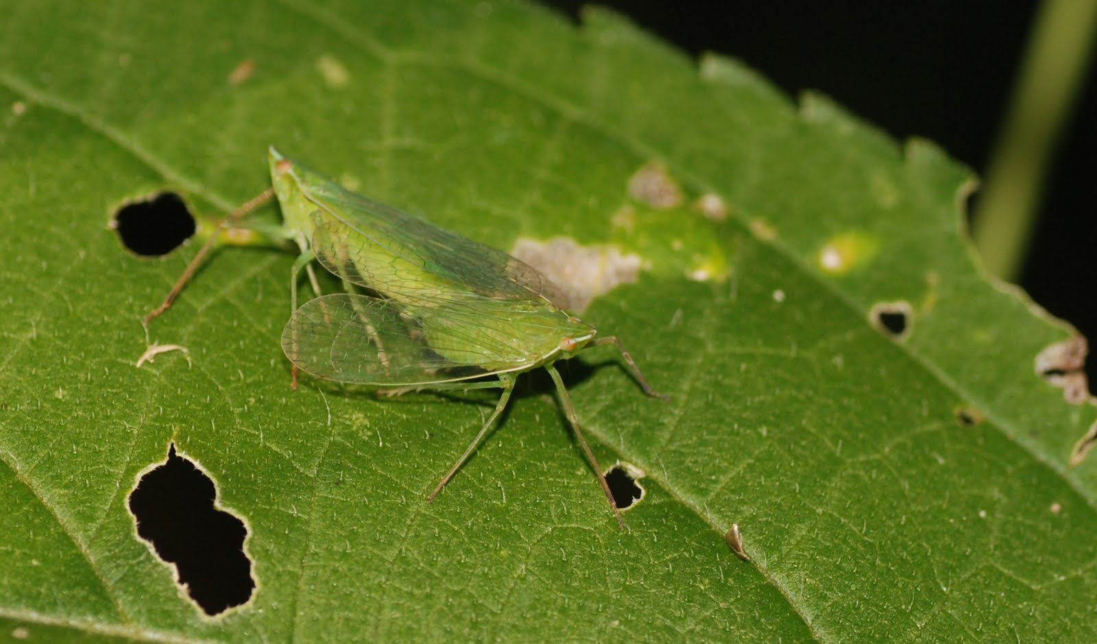 What Colors Look Good With Green Mobugs Leafhoppers
