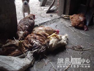 Chicken anyone? 7