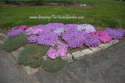 Creeping phlox uses in the garden growing the home garden - Olive garden spring hill tennessee ...