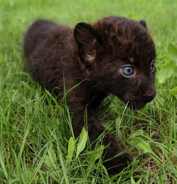 Baby panther cubs - photo#42