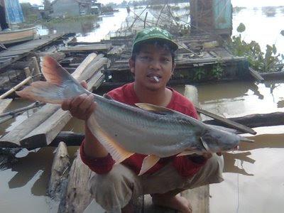 Budidaya Budidaya Ikan Patin