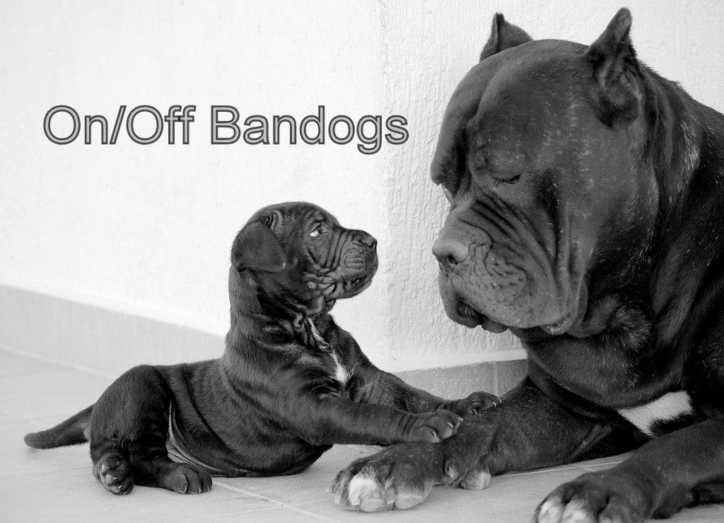 Bandog Mastiffs