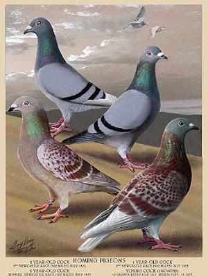 https://i2.wp.com/3.bp.blogspot.com/_PGvSoaafXiI/S2xYlGo84HI/AAAAAAAAHgs/pqe1VlP7gp0/s400/fulton-pigeon0.jpg