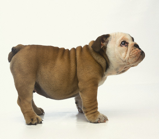 english bulldog tail terrierman s daily dose how much is that bulldog in the 3432