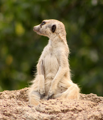 Meerkats are so cute