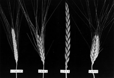 The Perennial Agriculturalist: wheat