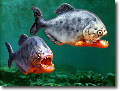 My Secret World Ikan Piranha  Ikan Ganas