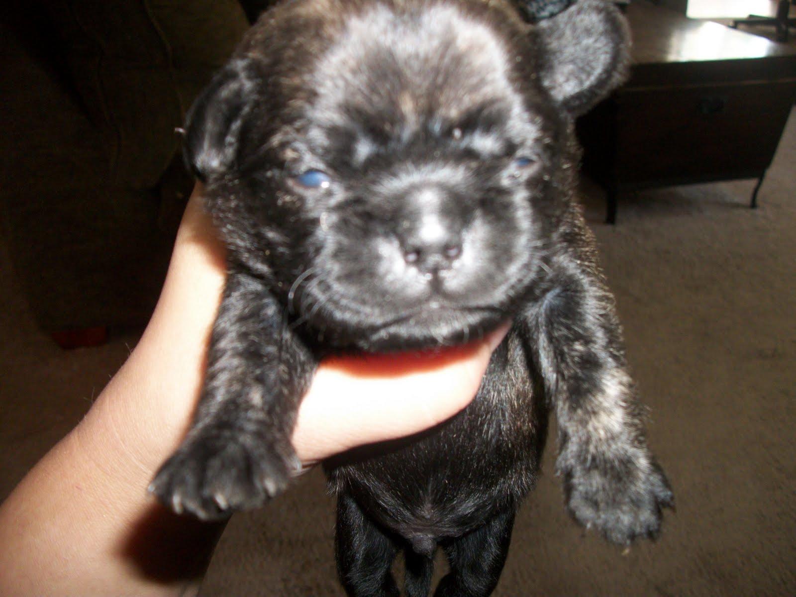 Pugapoo Puppies Leo