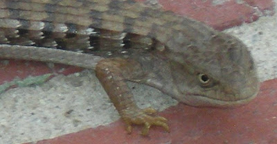 Alligator lizard, photo by Rosemary West © 2009