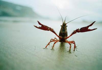 The American Signal Crayfish
