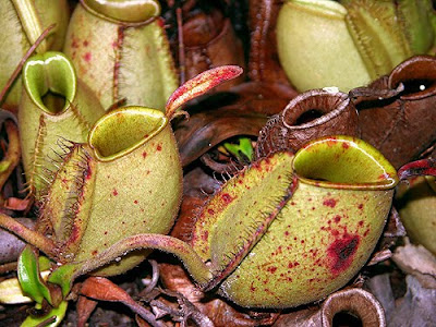 How does a pitcher plant catch and trap insects?