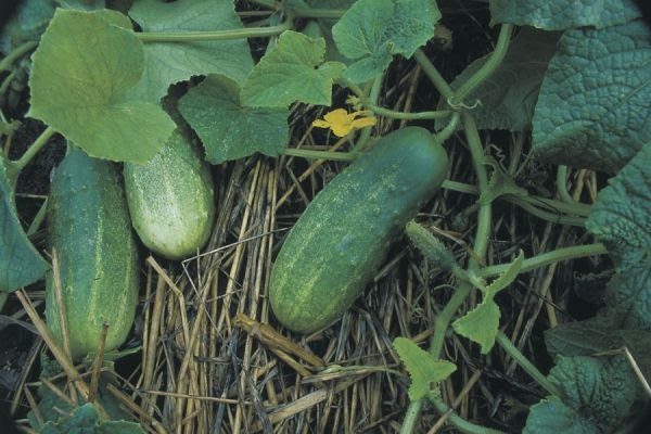 How To Sow And Grow Cucumbers From Seed The Garden Of Eaden