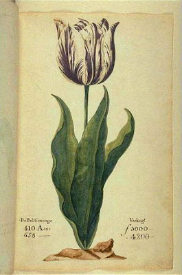 botanical illustration of tulip viceroy