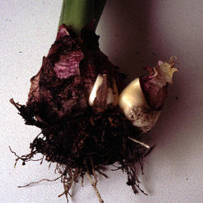 How To Propagate Hyacinths The Garden Of Eaden