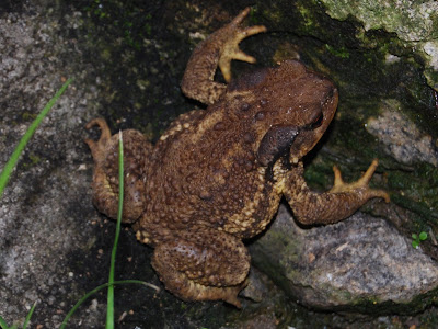 toad on damp stones