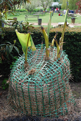 Root hardy banana with a covering of straw for winter protection