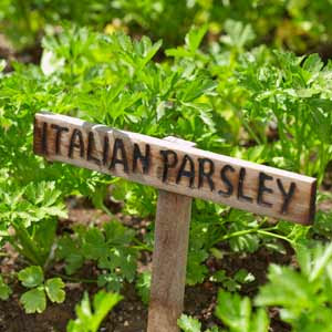 Field grown parsley with a wooden name tag