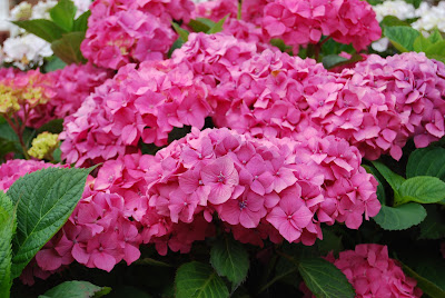 What Causes Blue Hydrangeas To Turn Pink