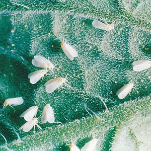 whitefly on the underside of a tomato leaf