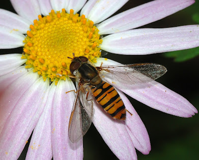 Adult hoverfly on flower