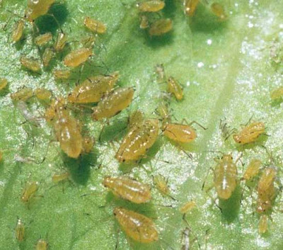 Close up of a group of aphids on a lettuce leaf