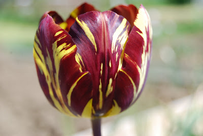 maroon and yellow stripped flowers of  Tulip 'Absalom'