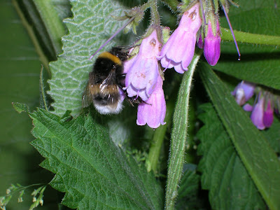 How to grow comfrey