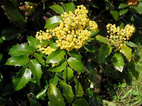 Evergreens For Dry Shade The Garden Of Eaden