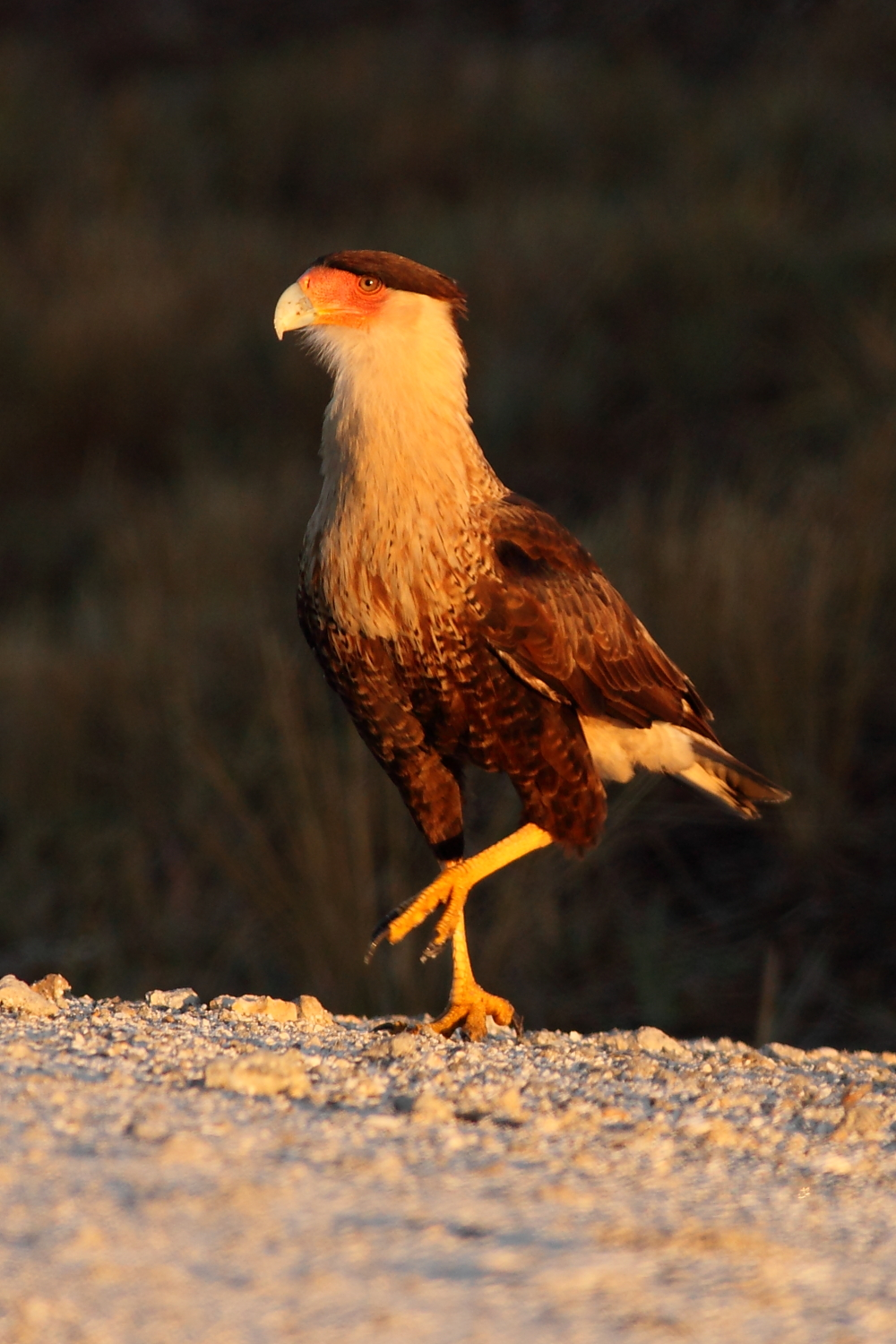 crested caracaras in south central florida by anna fasoli