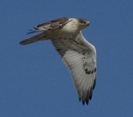 Sw Louisiana Birds Ferruginous Hawk X 2