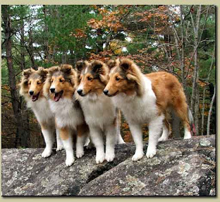 Rough collies for sale in louisiana myideasbedroom com