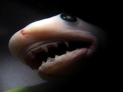 Gestación Tiburon