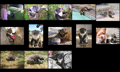 Koalas in Australian heat in January 2009. Photos believed to be in public domain; if any is yours, then pease let me know