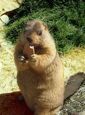 beaver pictures november 2010