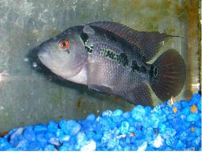 facts around us: Facts About Flowerhorn