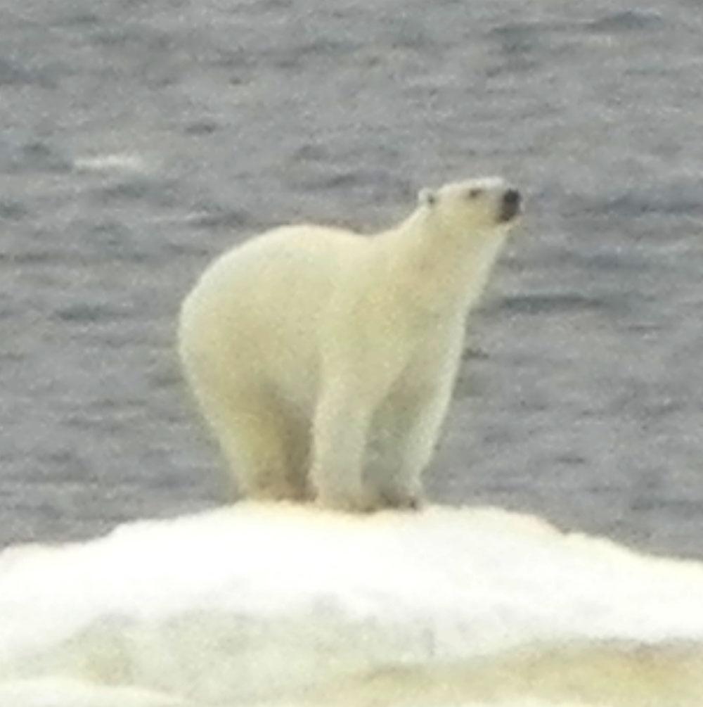 db46ff84a Elfshot  Nanook! Nanook! Polar Bear! Polar Bear!