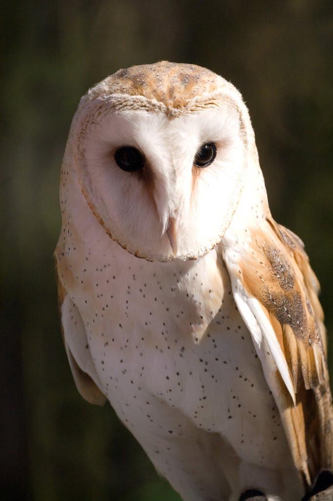 Gambar Burung Hantu  GAMBAR BURUNG HIASPIARAANKICAU