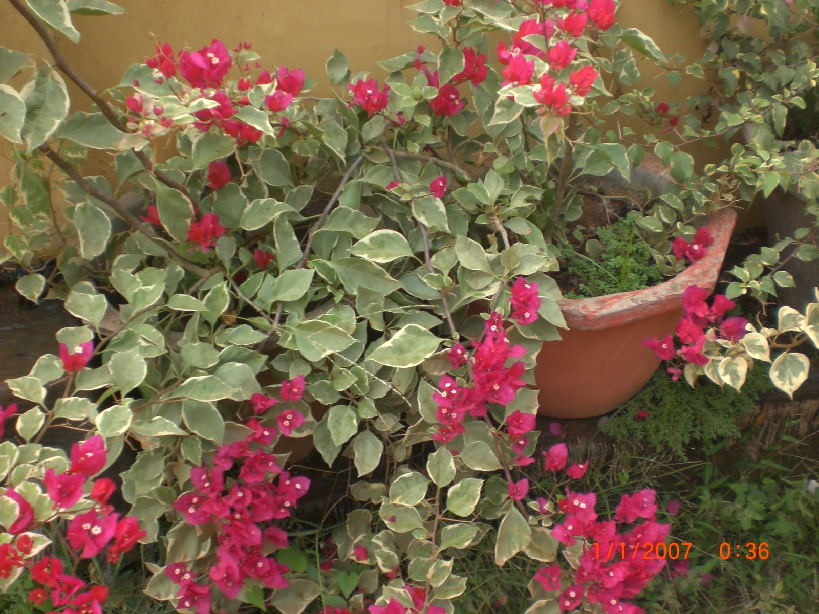 Variety Of Plants Bougainvillea Plants Buy Plants In