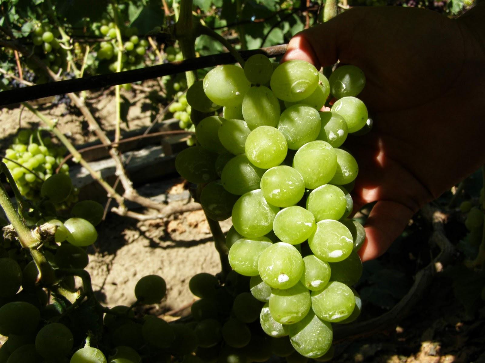 Как подвязывать виноград весной, ЧАСТНЫЙ ДОМ
