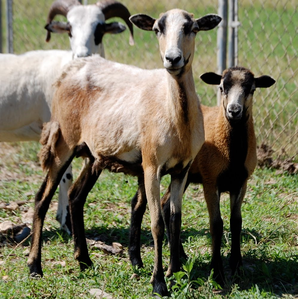 My Life as a Ranch Girl: Sheep for sale