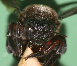 South African Photographs: Close-up of a Carpenter Bee